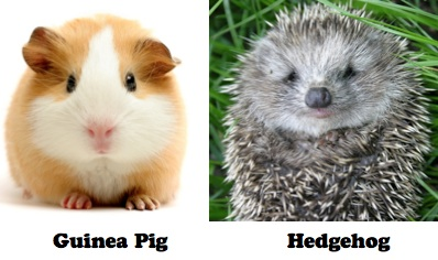 guinea pig and hedghog