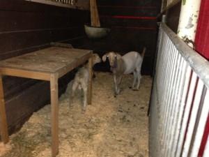goats-chirp-horsecapades