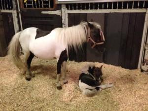 horsecapades-horses-foal-chirp