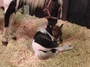 horsecapades-horse-chirp