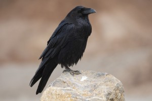 http://www.dreamstime.com/stock-photos-raven-image27761063