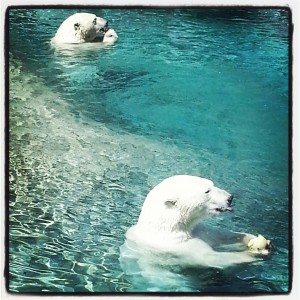 Polar Bear at the Toronto Zoo