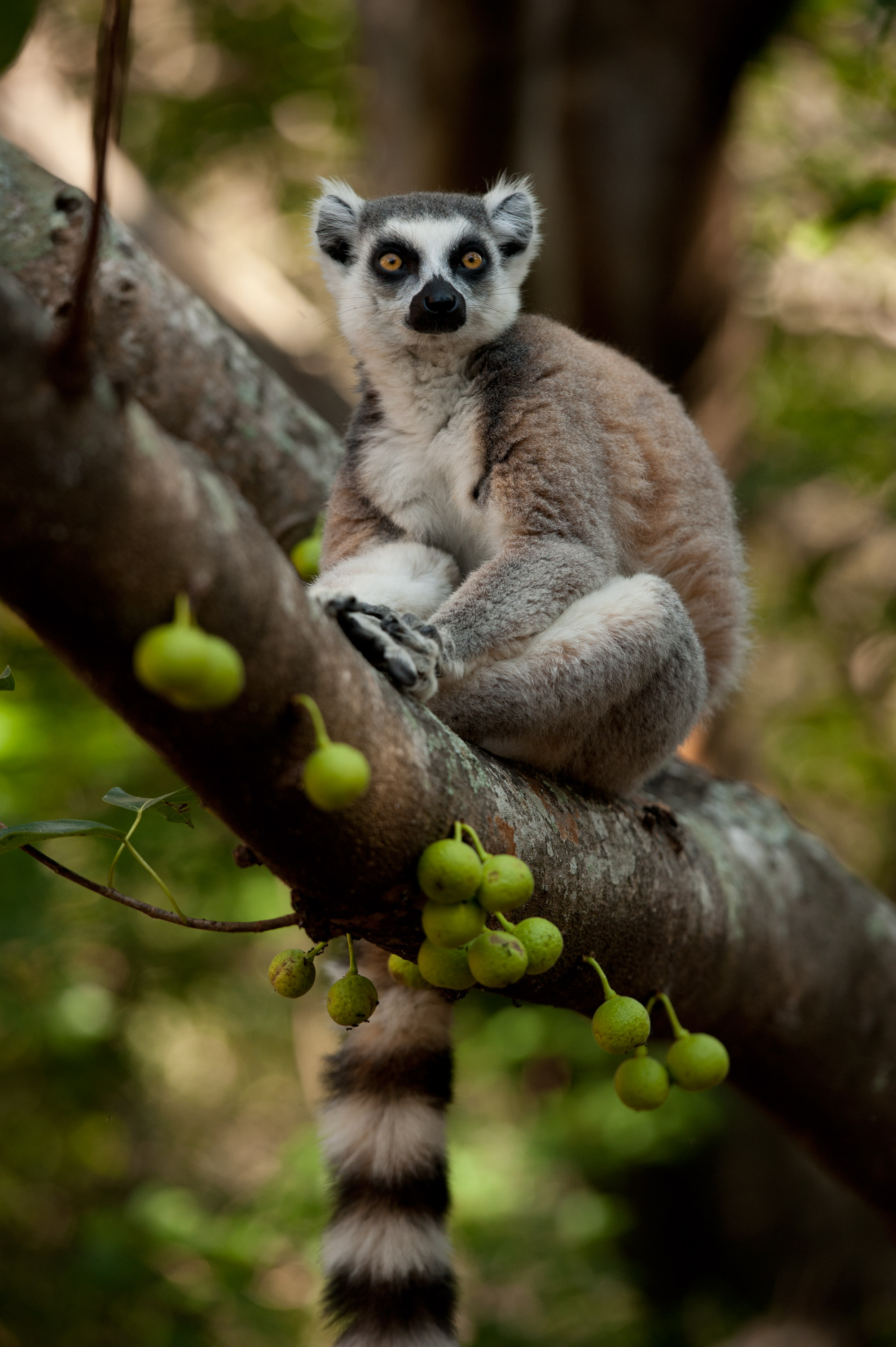 lemurs in madagascar surviving on an Madagascar is world-famous for its lemurs—primates that look something like a  cat  social groups, eating fruit and vegetation, and being active during the day.