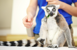 Stewie the ring-tailed lemur at the Ontario Science Centre