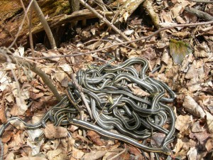 Red-sded Garter Snake 2 - Riding Mountain National Park - copyright Parks Canada - DSCN2142
