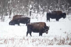 Wood Bison 1 - Elk Island National Park - copyright Parks Canada - 1311_ElkIslandW0_0680-Edit
