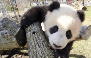 Image 66 Toronto Zoo - Panpan 7 month