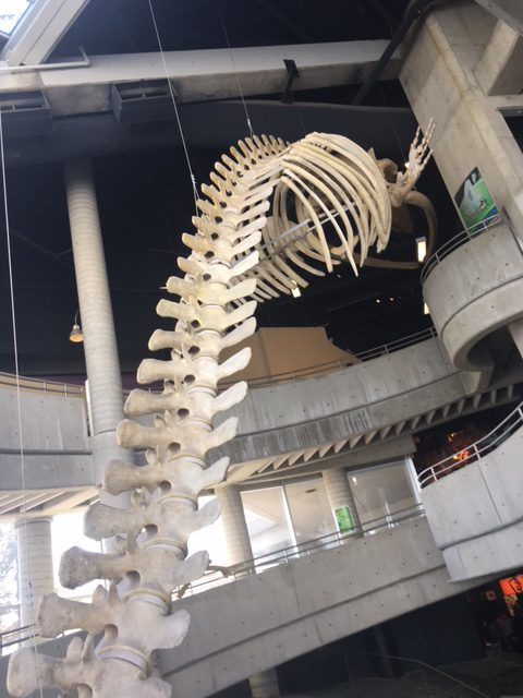 A dinosaur skeleton hangs in the middle of the building. It looked really cool.
