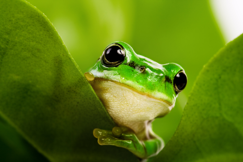 Green frog peeking out from green leaf