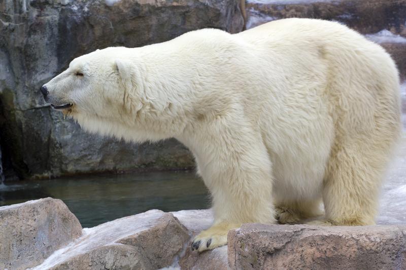 chirp magazine polar bear