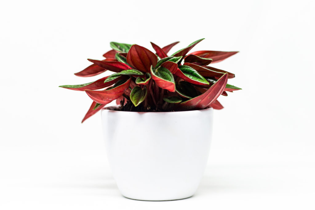 Peperomia Plant